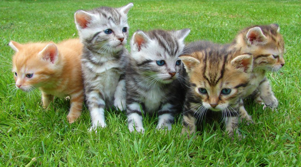 Essential Oils and Pet Safety - cats