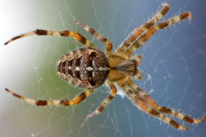 Essential Oils to Keep Bugs Away - Spider