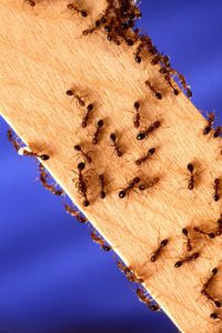 Essential Oils to Keep Bugs Away - ants