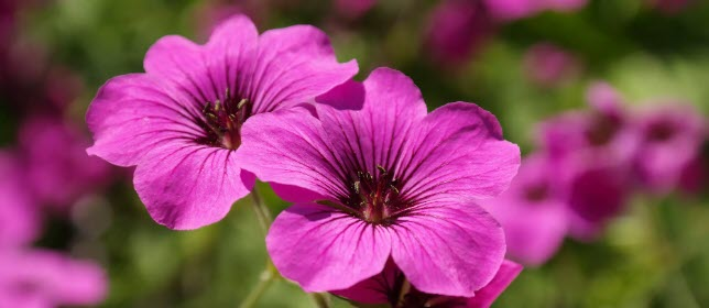 Geranium Essential Oil Smells Horrendous - header
