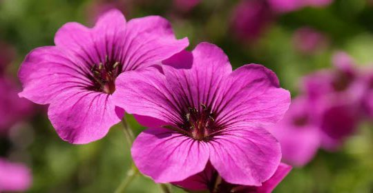Geranium Essential Oil Smells Horrendous – So Is It Any Good?